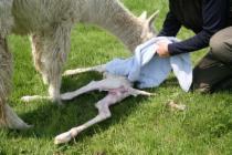Alpaka fohlen mantel